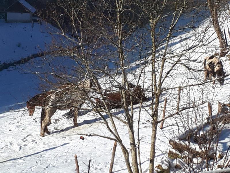 Pferde wälzen sich im Schnee