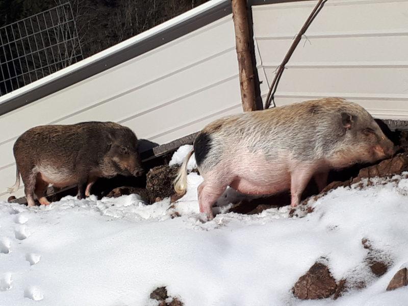 Minischweine in der Wintersonne