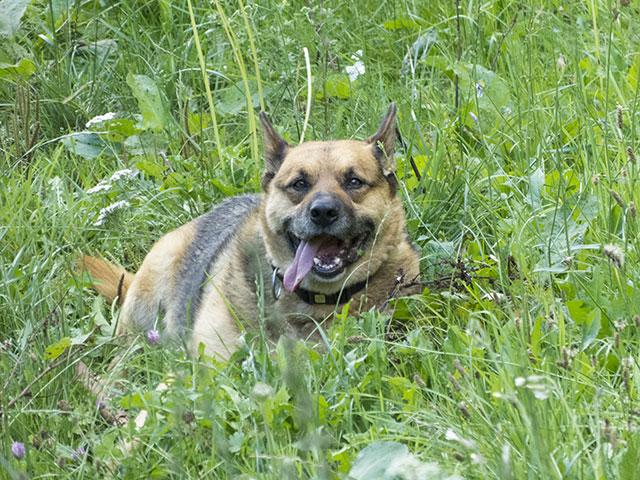 Hofhund Jack